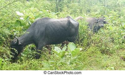 wild buffalo in Sri Lanka