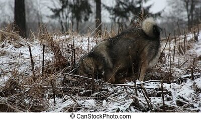 Dog digs a hole looking for mice in the winter forest