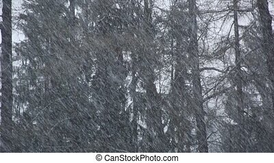 Snow falling in the winter forest