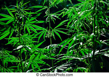 drops of sun on a hemp - drops of sun through a leaves of...