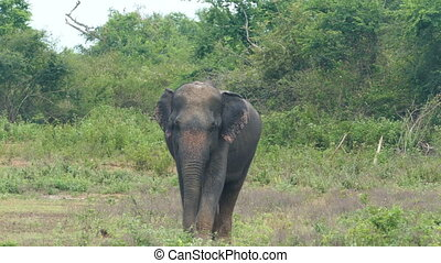 wild indian elephant walking to camera