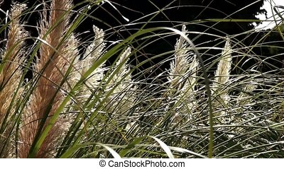 Feather-grass.