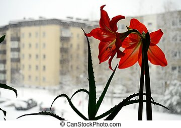 Amarilis blossom in the winter city background. Focus on...