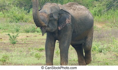 wild indian elephant raises the trunk