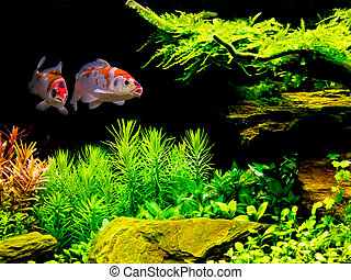 Koi couple in fish tank