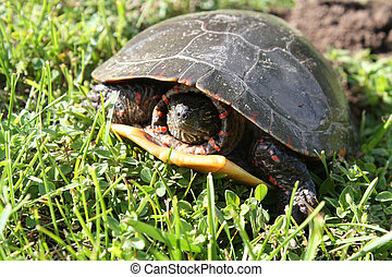 Midland Painted Turtle laying Eggs