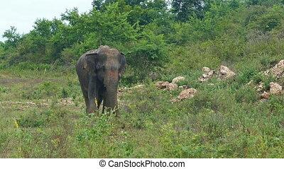 wild indian elephant walking