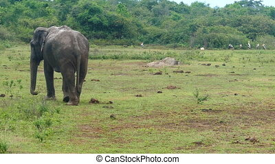 wild indian elephant walking
