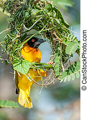 Yellow masked weaver building nest - A yellow masked weaver...