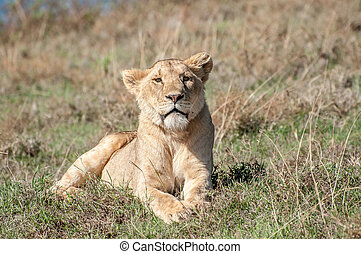 Relaxed lioness lying in short grass - A golden coloured...