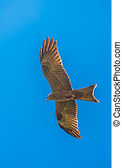 Yellow billed kite hovers in blue sky with wings stretched -...