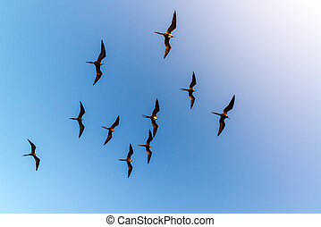 Ten Flying Frigatebirds - Ten frigatebirds high in the air...