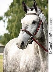 Gray sport horse portrait ar show arena competition