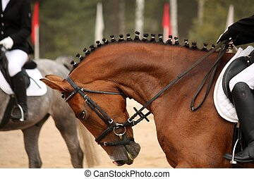 Brown sport horse portrait during dressage test - Brown...