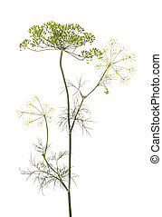 Dill (Anethum graveolens) - Dill herb isolated on white...