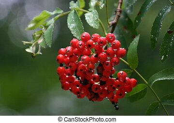 rowan berry
