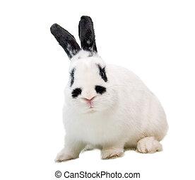 coelho, levantado, orelha, isolado