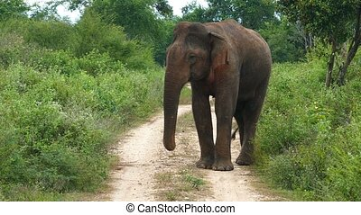 wild indian elephant walking on road to camera