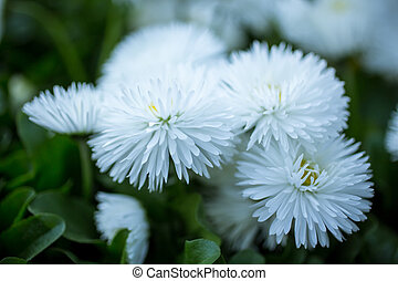 Marguerite flowers - Beautiful white marguerite flowers,...