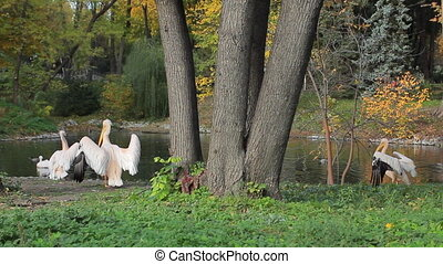 pelicans clean feathers in Zoo - pelicans clean feathers and...