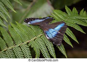 Achilles Morpho Butterfly , Wings Out on a Leaf