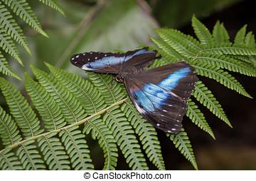 aquiles, Morpho, mariposa,