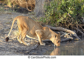 lioness drinking - Young lioness cub drinking water in the...