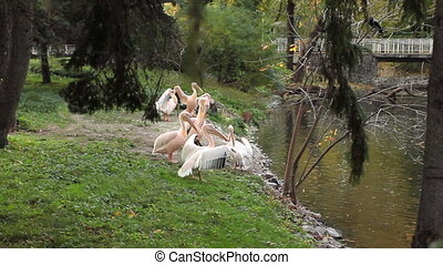 pelicans clean their feathers under trees near pond in Zoo
