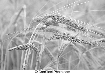 Wheat in black and white close up