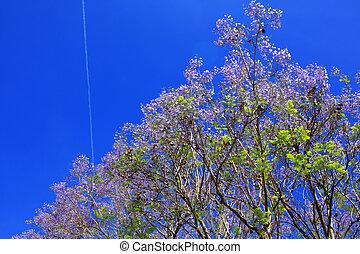 flor,  jacaranda, árbol