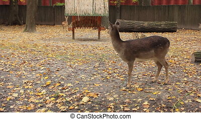 sika deer and two fawns in Zoo - sika deer and two fawns go...
