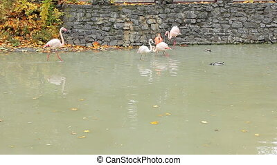 flamingos walk on water of pond in Zoo