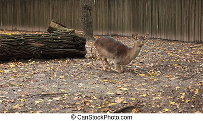 sika deer in autumn Zoo - sika deer lying on ground, then...
