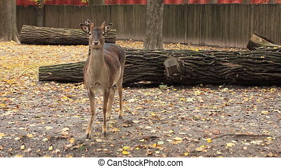 sika deer in autumn Zoo - sika deer standing looks, then...