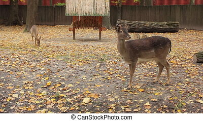 sika deer and fawn in autumn Zoo - sika deer and fawn near...
