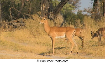 Impalas crossing the road in Moremi Game Reserve, Botswana,...