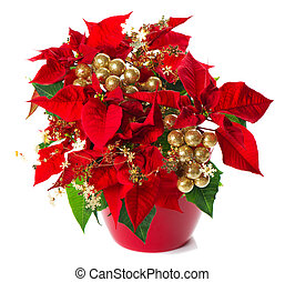 red poinsettia. christmas flower with golden decoration on...