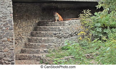 Amur tiger goes down - Amur tiger gets up and goes down...