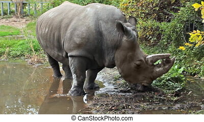 white rhinoceros stands in puddle - Southern white...