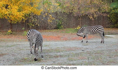 two Grant's zebras grazing in Zoo - two Grant's zebras...