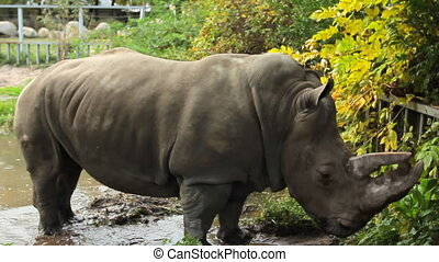 rhinoceros stands in autumn park - Southern white rhinoceros...