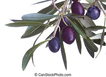 black olives in olive tree branch isolated on a white background