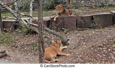 couple of African lions resting in autumn zoo aviary,...