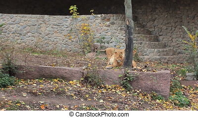 two young African lions play in aviary made of stone at...