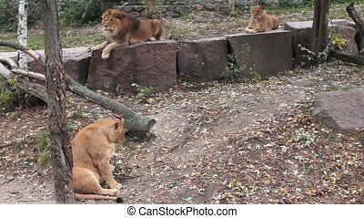 African lions family in autumn zoo - African lions family...