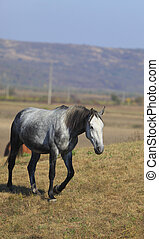 Horse - A beautiful gray horse in an autumn field
