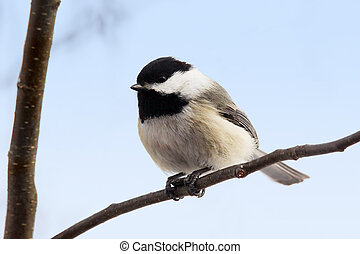 Chickadee with seed on branch - Black-capped chickadee,...