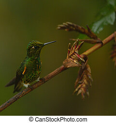 Buff-tailed coronet is perching on the flowers