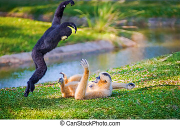 Lar Gibbon - Children Northern white-cheeked gibbon or...