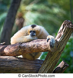 Lar Gibbon - White Cheeked Lar Gibbon sitting...